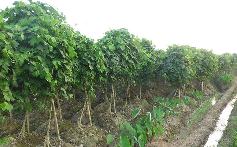 葛根种植剪枝图片
