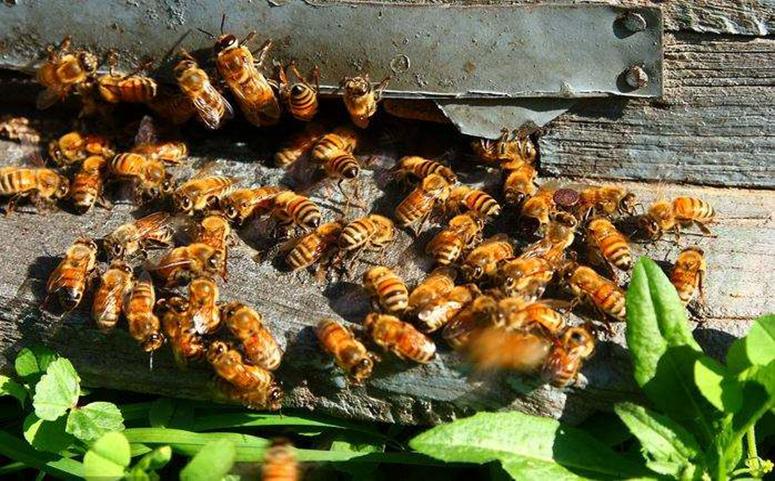 蜜蜂养殖快速繁殖图片