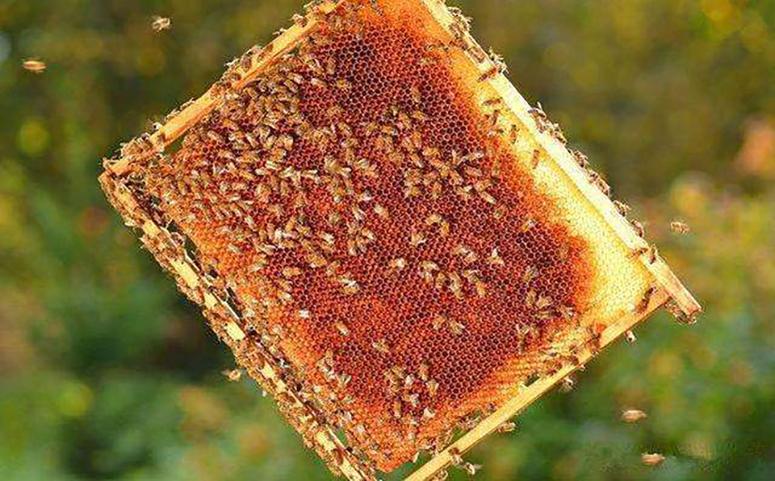 蜜蜂养殖控制巢脾数量图片