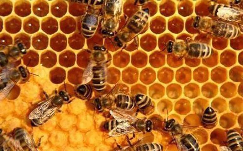 蜂蜜繁殖奖励饲养蜜蜂图片