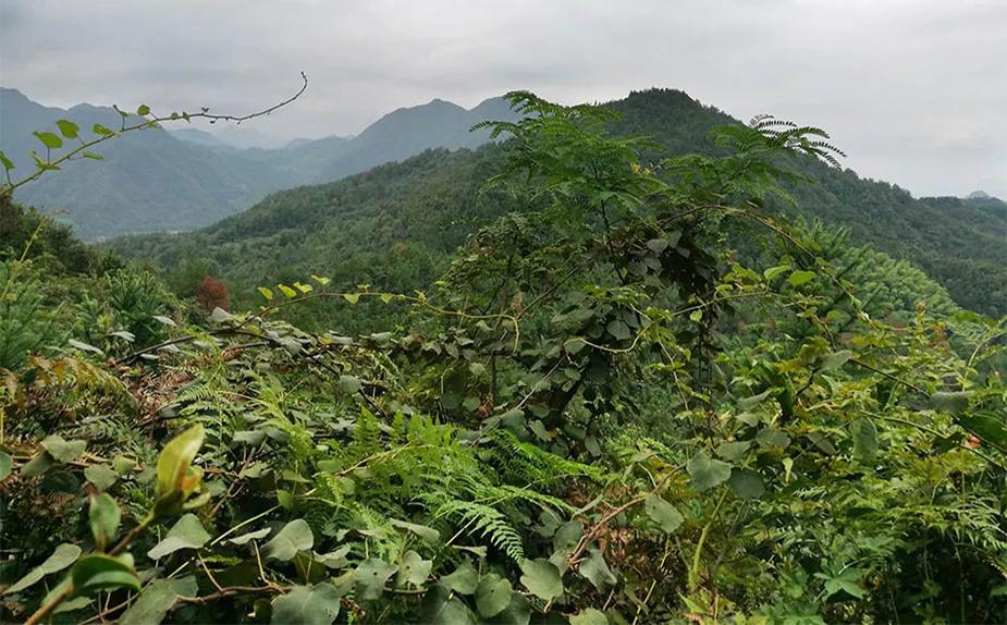 野生猕猴桃生长环境图片
