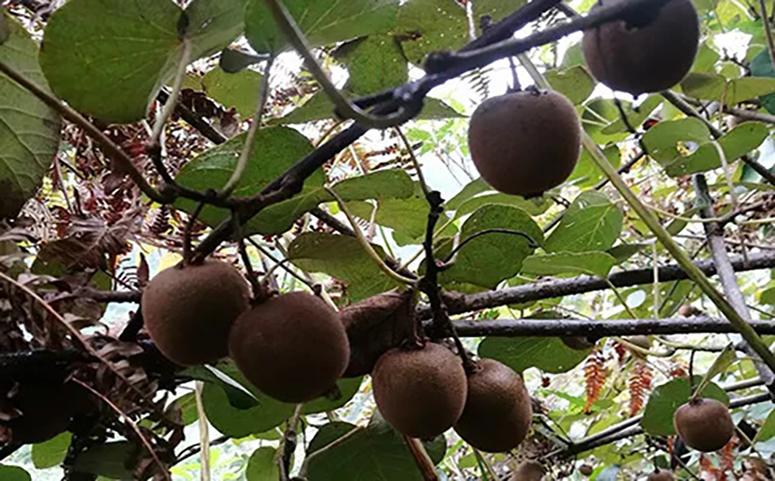 野生猕猴桃美容养颜图片