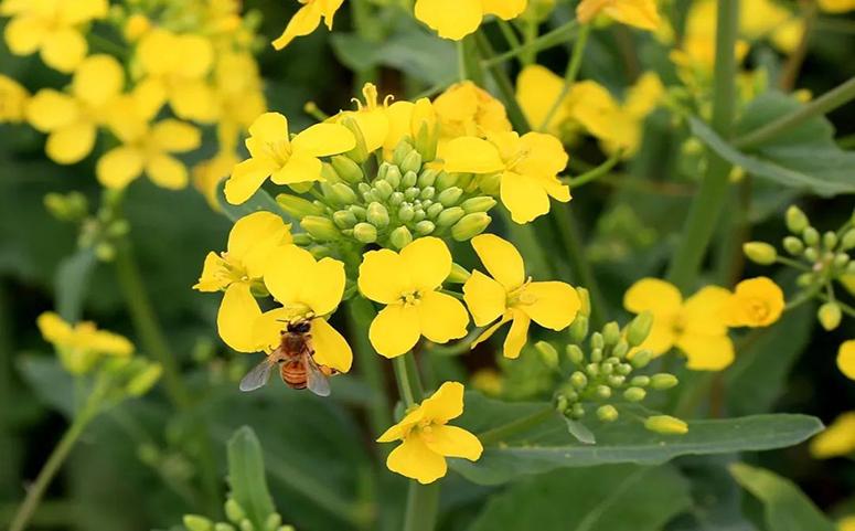 油菜花蜂蜜多少钱一斤图片