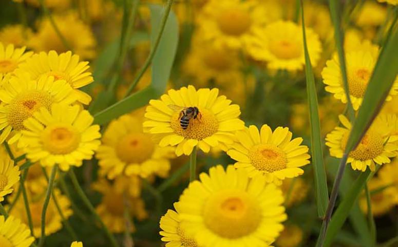 蜜蜂采蜜对花朵有什么影响和好处图片-