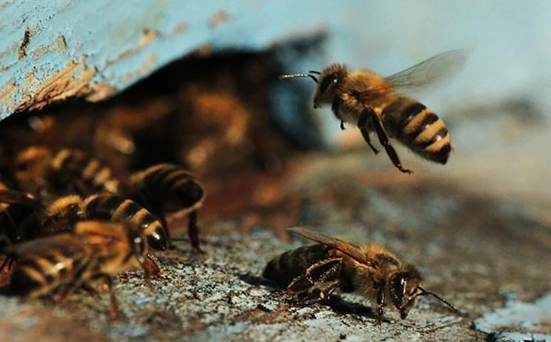 蜜蜂为什么会分蜂图片