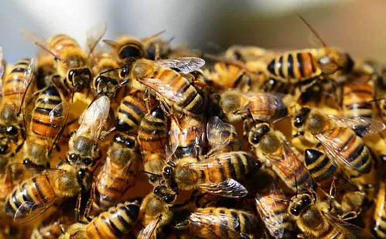蜜蜂什么时候会分家图片
