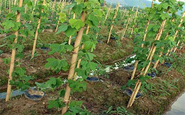 葛根种植的高产技术图片