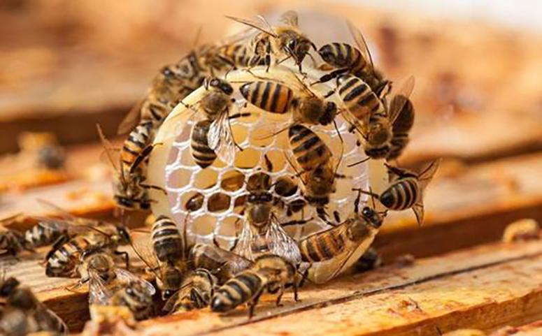 怎样避免和控制蜜蜂分蜂图片
