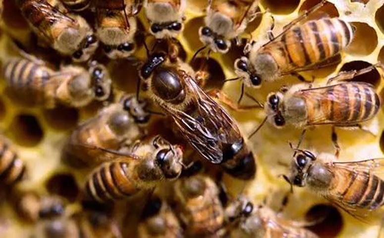 蜜蜂工蜂和蜂王的关系图片