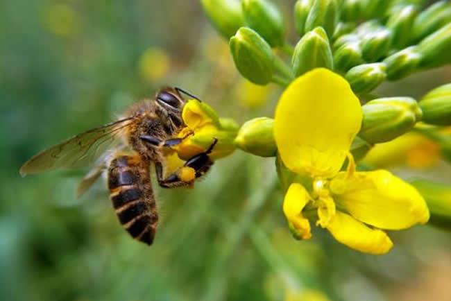 蜜蜂最喜欢黄色的花朵介绍图片