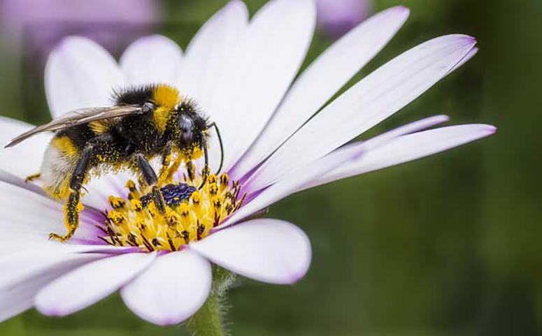 蜜蜂通过眼睛和嗅觉发现花朵的介绍图片