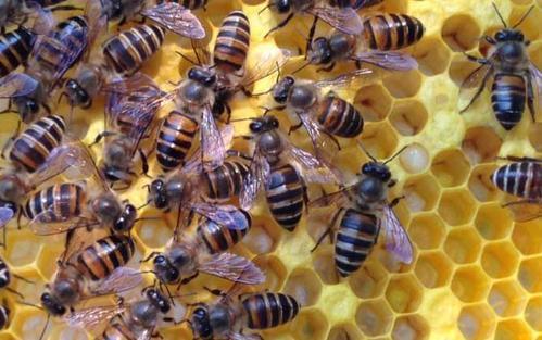 雄蜂的寿命的大概在三四个月左右介绍图片
