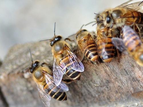 工蜂寿命短暂介绍图片