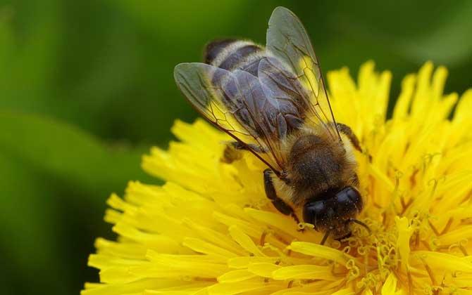 蜜蜂的寿命一般有多长图片