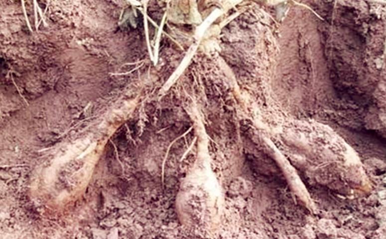 葛根种植多久可以采收及采收时间图片