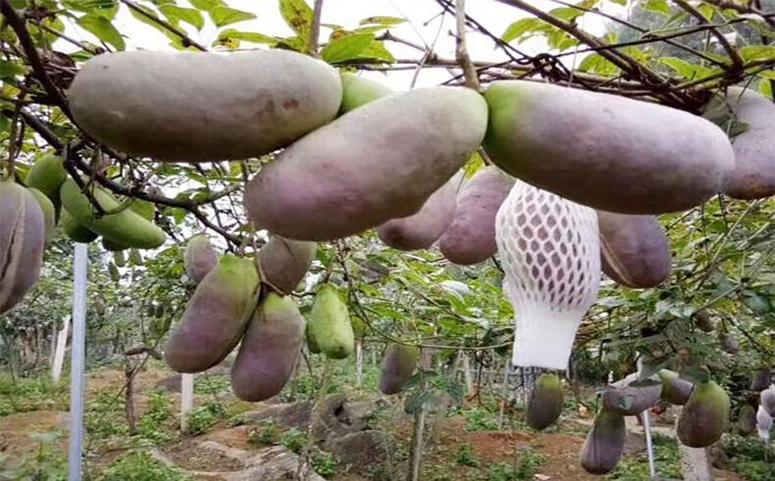 八月炸用香蕉催熟介绍图片