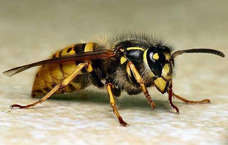 被蜜蜂蛰了可以自愈吗图片