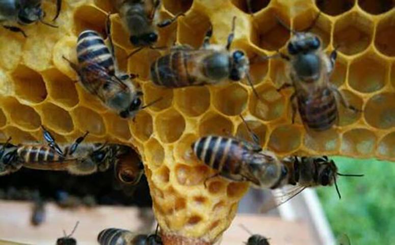 蜜蜂筑巢的原因介绍图片