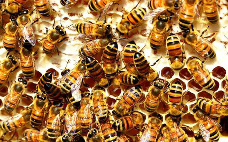 蜜蜂筑巢地点介绍图片