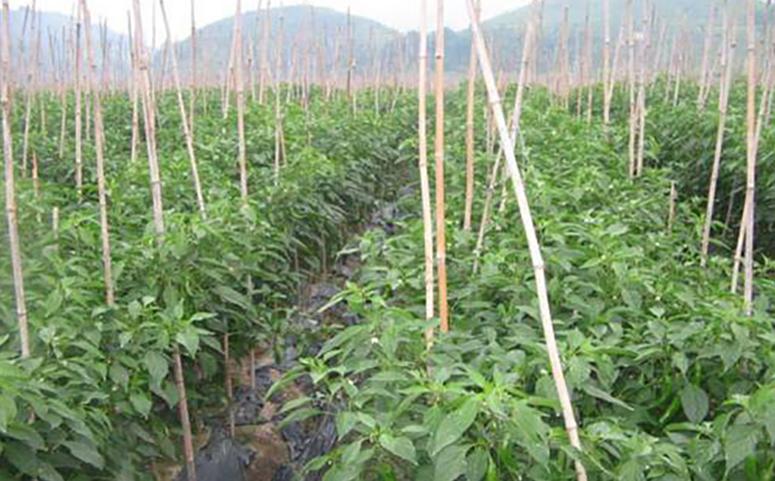 五味子种植条件介绍图片