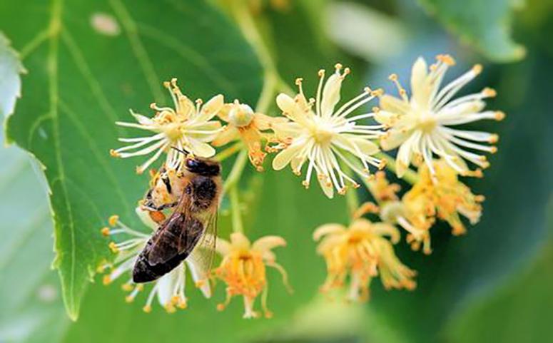 蜜蜂是怎样判断未知蜜源是否有毒介绍图片