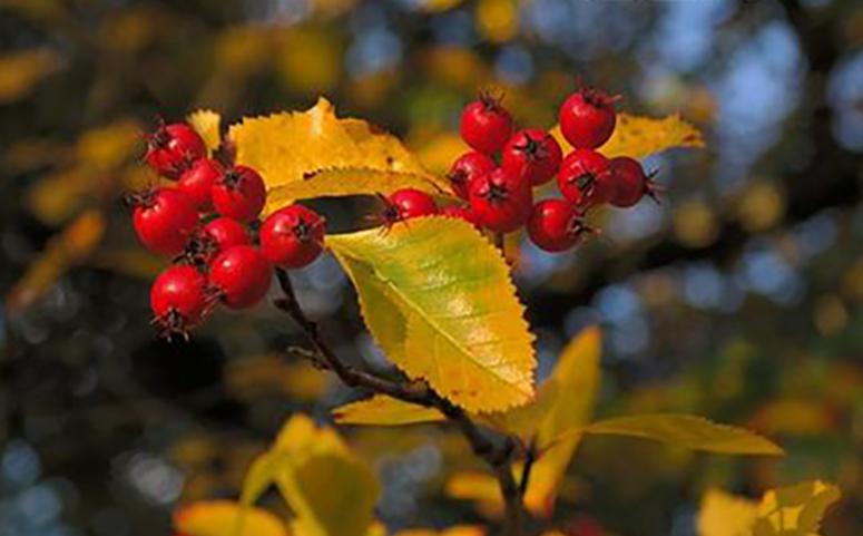 山楂树叶子发黄枯死是什么原因?
