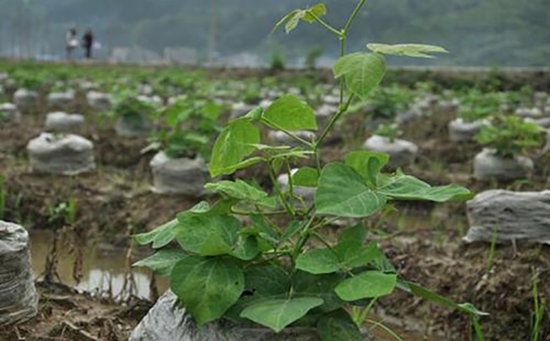 葛根播种繁殖方法介绍图片