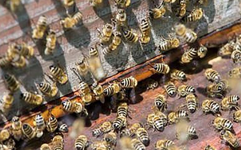 蜜蜂养殖技术介绍图片