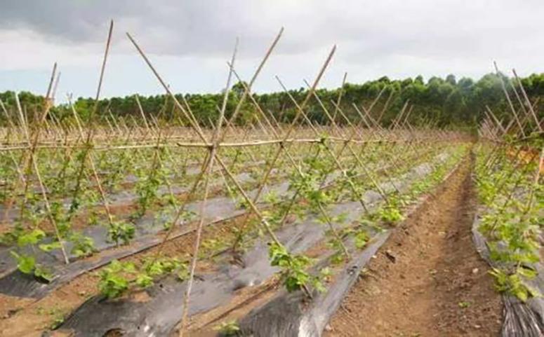 葛根种植高产栽培技术之选地整地介绍图片