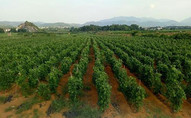 葛根种植高产的栽培技术之选良种介绍图片