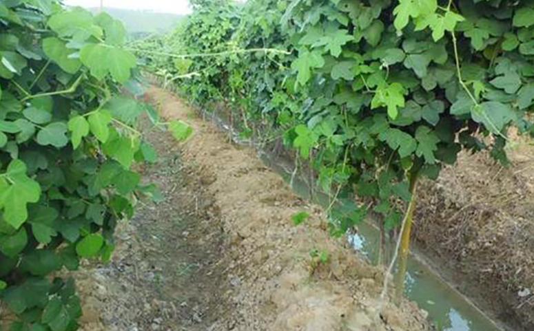 葛根种植高产的栽培技术之田间管理介绍图片