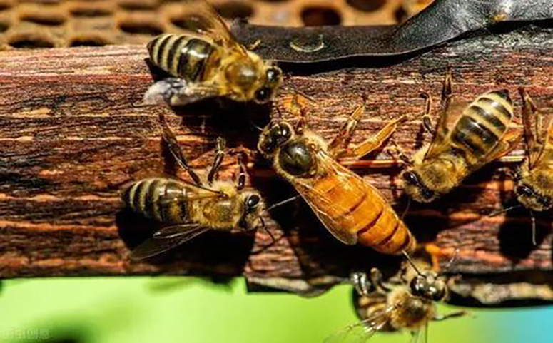 独门收蜂技术的诀窍介绍图片