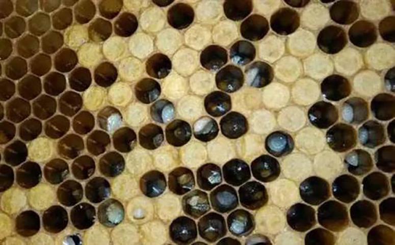 养蜂幼虫病图片