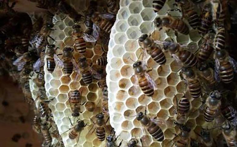 蜜蜂造脾图片