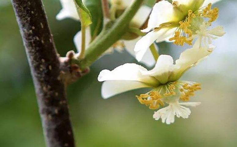 猕猴桃开花图片