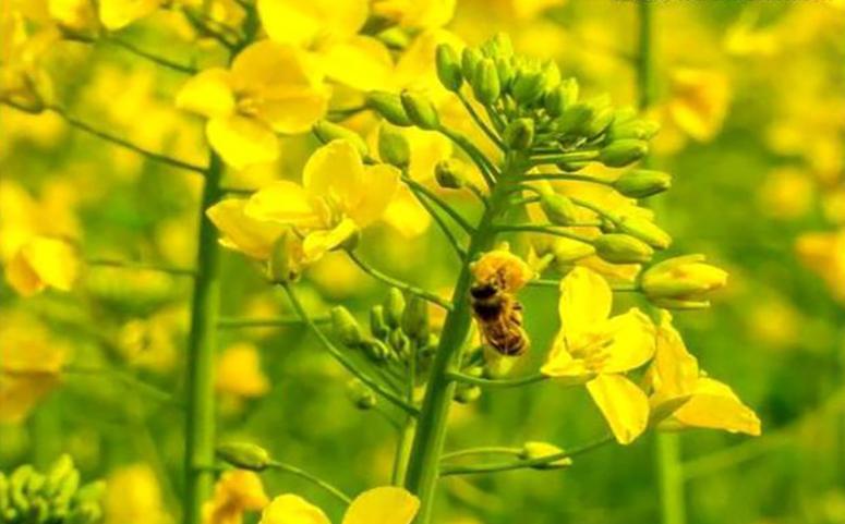 蜜蜂采集油菜花图片
