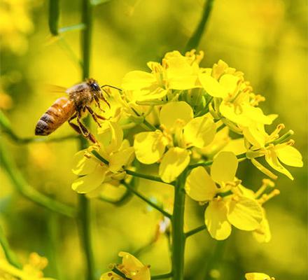 蜜蜂采油菜花图片