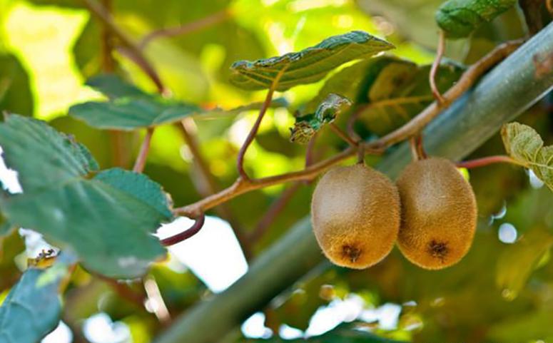 猕猴桃图片