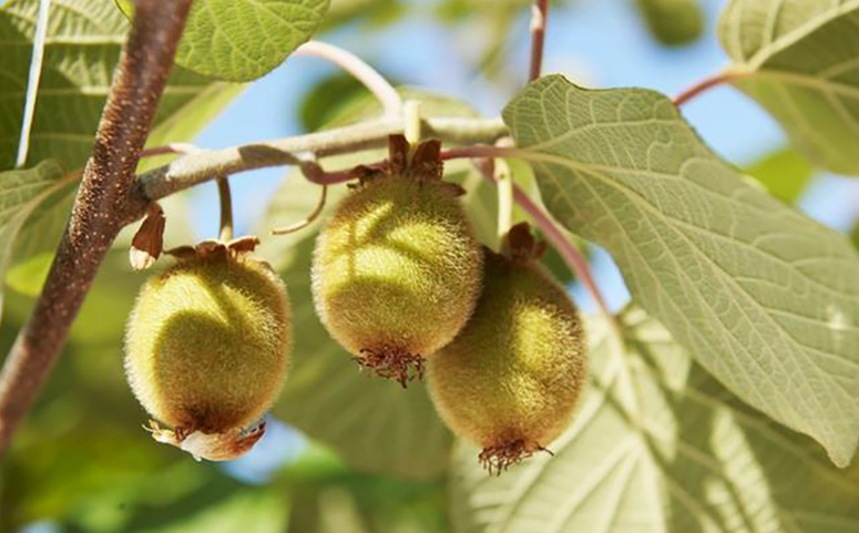 猕猴桃幼果图片