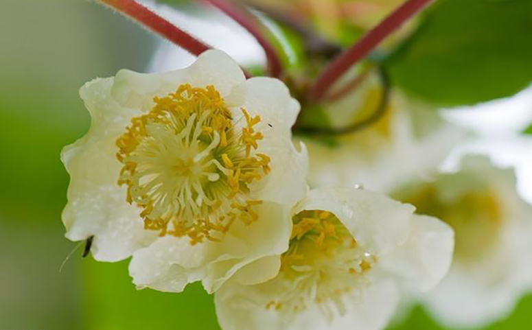 猕猴桃花图片