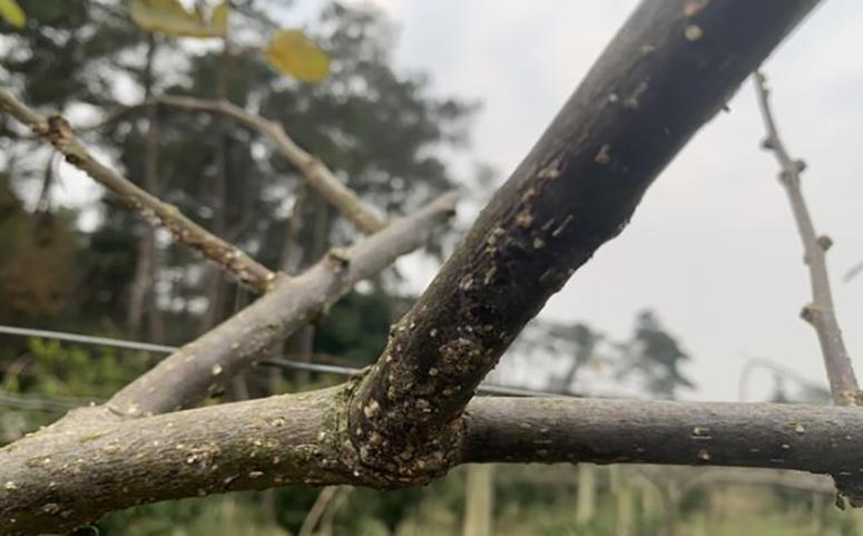 猕猴桃树枝图片