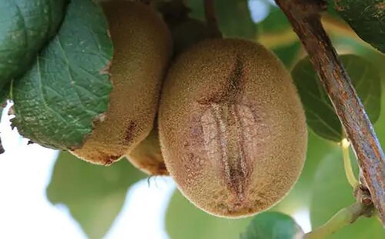 猕猴桃裂果图片