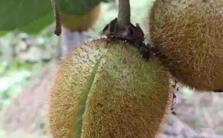 猕猴桃裂果的防治措施